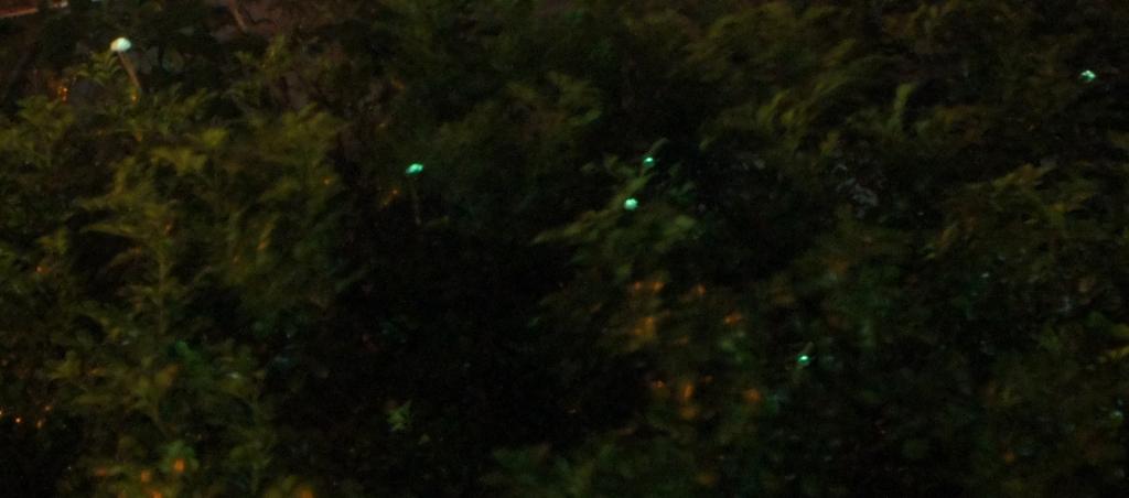 fireflies_1B
