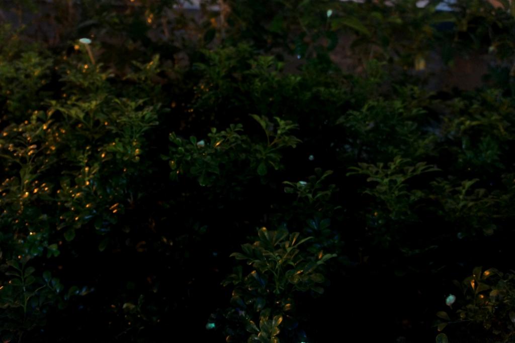 fireflies_3_DSC04445